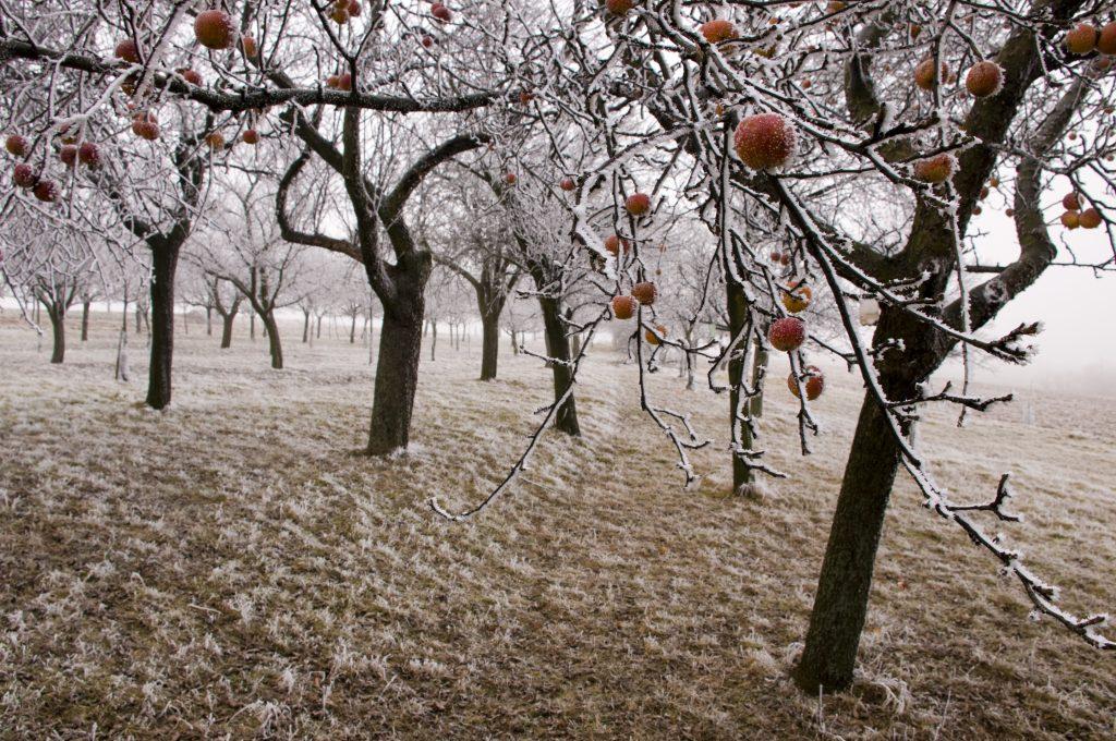 Apple Moonlight Christmas
